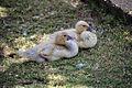 Swan Goose Chicks San Juan 2014 01 18 0457.jpg