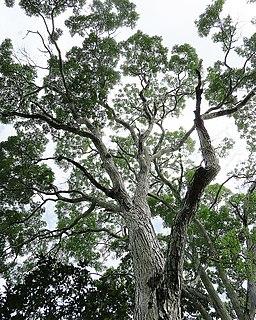 Mahogany timber of tropical hardwood species in the genus Swietenia