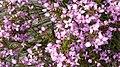 Sydney Boronia (15636421544).jpg
