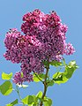 Syringa vulgaris 2015 G1.jpg