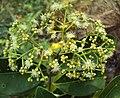 Syzygium caryophyllatum 35.JPG