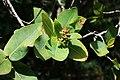 Syzygium cordatum 2.jpg