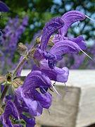 Szalwia lakowa Salvia pratensis2.jpg