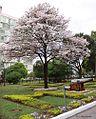 Tabebuia Roseoalba (White Ipe) (28790372242).jpg