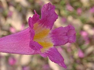 Handroanthus impetiginosus - A single flower