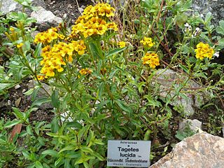 <i>Tagetes lucida</i> species of plant