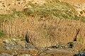 Tall grasses on the shoreline near Godrevy Farm - geograph.org.uk - 1545341.jpg