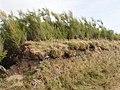 Tamarisk on cornish hedge, near Treyarnon - geograph.org.uk - 224278.jpg