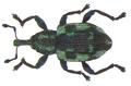 Tanysphyrus lemnae (Paykull, 1792) (8099412558).png