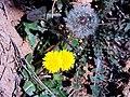 Taraxacum obovatum habitus seed SierraMadrona.jpg