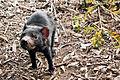Tasmanian Devil - Port Arthur Tasmania (5406942083).jpg