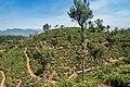 Teeanbaugebiet Sri Lanka (29990355901).jpg