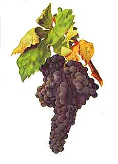 Tempranillo wine making grape