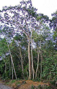 Pohon tengkawang (Shorea sp.), sejenis meranti merah