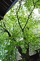Ternopilska-lypa-14055779.jpg