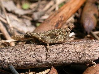 <i>Tetrix ceperoi</i> species of insect