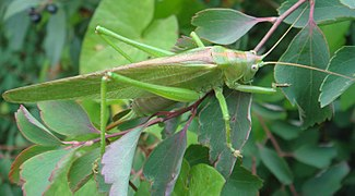 Tettigonia viridissima on a leave.jpg