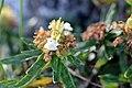 Teucrium montanum (8418715926).jpg