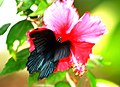 Thailand Koh Phi Phi Island Papilio Memnon Agenor male (8802583049).jpg