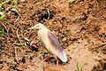 The Indian Pond Heron (Ardeola grayii).jpg