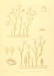 The Monograph of the Gymnoblastic or Tubularian Hydroids. Plate X.png