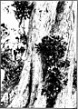 The indigenous trees of the Hawaiian Islands (1913) (20538016420).jpg