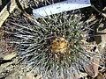 Thelocactus rinconensis (5729798866).jpg