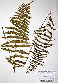 Thelypteris palustris var. pubescens BW-1979-0920-0566.jpg