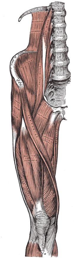 qual é o músculo na frente das coxas