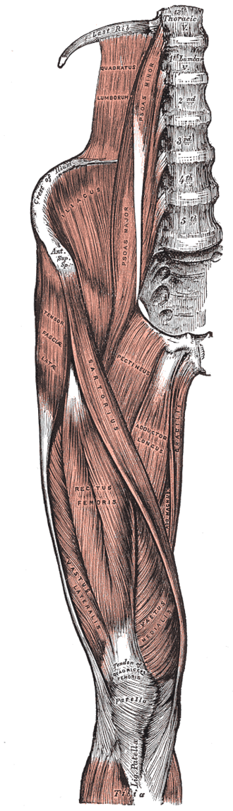 Thigh - Image: Thigh muscles front