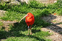 Thomas Bresson - Ibis rouge (by).jpg