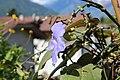 Thunbergia grandiflora 12.jpg