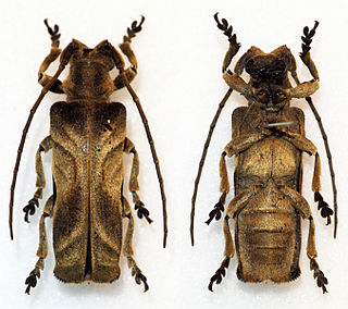 <i>Thylactus insignis</i> Species of beetle