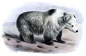 Tibetan blue bear - Image: Tibetan Blue Bear Ursus arctos pruinosus Joseph Smit crop