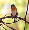 Tickell's Blue Flycatcher I IMG 0802.jpg