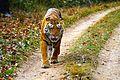 Tiger - Kanha National Park.jpg