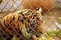 Tiger behind chainlink fence (5213317123).jpg