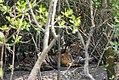 Tigress giving a final look before lying down at Sundarban.jpg
