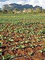 Tobacco Field Near Viñales - Cuba (5289871490).jpg