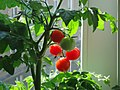 Tomatoes grown at home.jpg