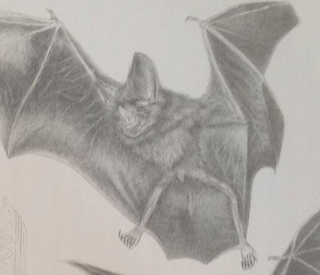 Greater round-eared bat Species of bat