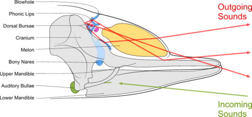 Diagram illustrating sound generation, propagation and reception in a toothed whale. Outgoing sounds are red and incoming ones are green