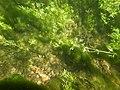 Touffes d'algues vertes filamenteuses dans Les Baillons aout2017 a 02.jpg