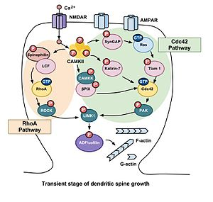 Rho family of GTPases - Calcium influx through NMDA receptors activates CAMKII. CAMKII then regulates several other signaling cascades that modulate the activity of the actin-binding proteins cofilin and profilin. These cascades can be divided into two primary pathways, the RhoA and Cdc42 pathways, which are mediated primarily by these members of the Rho family of GTPases. In the transient stage, the signaling cascade caused by synaptic activity results in LIMK1 phosphorylating ADF/cofilin via both the RhoA and Cdc42 pathways, which in turn inhibits the depolymerization of F-actin and increases the volume of the dendritic spine drastically while also inducing LTP.