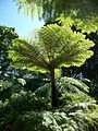 Tree Fern Durban Botanic Gardens 12 09 2010.JPG