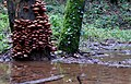 Tree Fungus in waterlogged woods - geograph.org.uk - 1618319.jpg