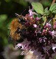 Tree bumblebee male - Bombus hypnorum (16871996761).jpg