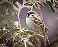 Tree sparrow (50810029087).jpg