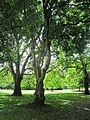 Trees in St. Stephen's Green (6003614111).jpg
