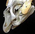 Trichecus manatus head skeletton Lamantin GLAM MHNL 2016 Lamiot 5.JPG